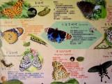 瑞柑國小的大型蝴蝶看板,介紹眾多蝴蝶特性~