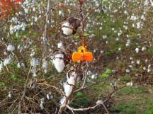鄭宗坤先生夾在棉花樹上用來識別參觀路徑的小夾子~