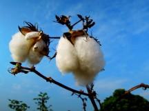掛在枝頭的棉花果實~