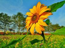 莿桐孩沙里花海裡的熱情向日葵~