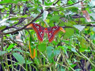 幸運地在溪谷拍攝到最大體形的蛾類 - 蛇頭蛾,動也不動~